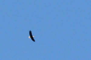 Bald Eagle as I walk...