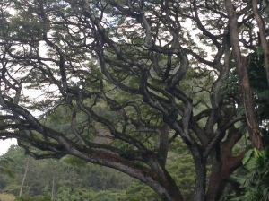 Big, beautiful trees abound on Oahu