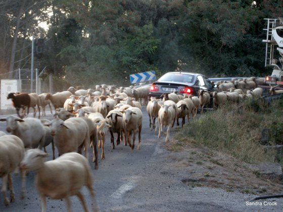sheep-and-car-1
