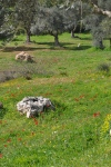 The olive groves blooming in spring...